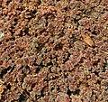 Azolla caroliniana Willd.jpg