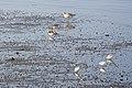 Bécasseaux sanderlings (les plus petits).jpg