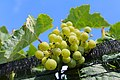 BUNCH WINE GRAPES green close up (48986223318).jpg