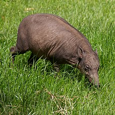 Babirusa at Chester Zoo.jpg