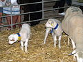 Baby Lambs - Fatacil Agriculture and Tourism Fair - Lagoa - The Algarve, Portugal (1469426325).jpg