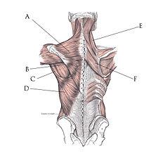 A - Musculus trapezius
