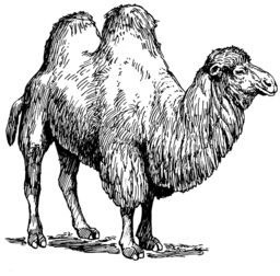 Bactrian Camel (PSF)