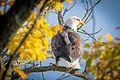 Bald Eagle (Haliaeetus leucocephalus) (22061564470) (2).jpg