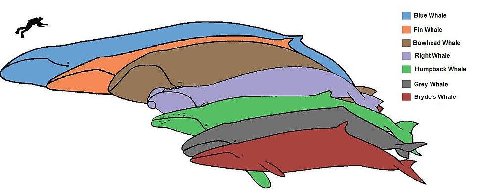 Baleen whale sizes