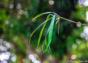 A bamboo leaf photography by Mushfiqur Rahman Abir