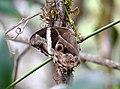 Bamboo Treebrown by Raju Kasambe DSCN1563 (3).jpg