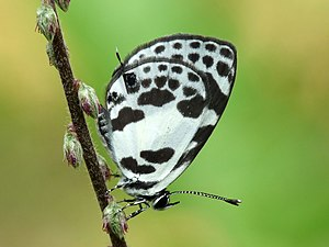 Discolampa ethion - Banded Blue Pierrot (Discolampa ethion).