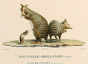 Banded hare-wallaby - 1807 illustration of banded hare-wallabies of Bernier Island.