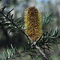 Banksia marginata, Nadgigomar Nature Reserve.jpg