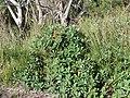 Banksia paludosa (42678493151).jpg