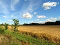 Barley Field at Plastow Green - geograph.org.uk - 29306.jpg