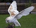 Barn Owl3 (5087196380).jpg
