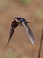 Barn swallow, Hirundo rustica, at Suikerbosrand Nature Reserve, Gauteng, South Africa (23292379091).jpg