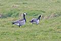 Barnacle Goose (Branta leucopsis).jpg