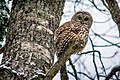 Barred Owl (23415488984).jpg
