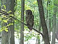 Barred Owl (27307230971).jpg