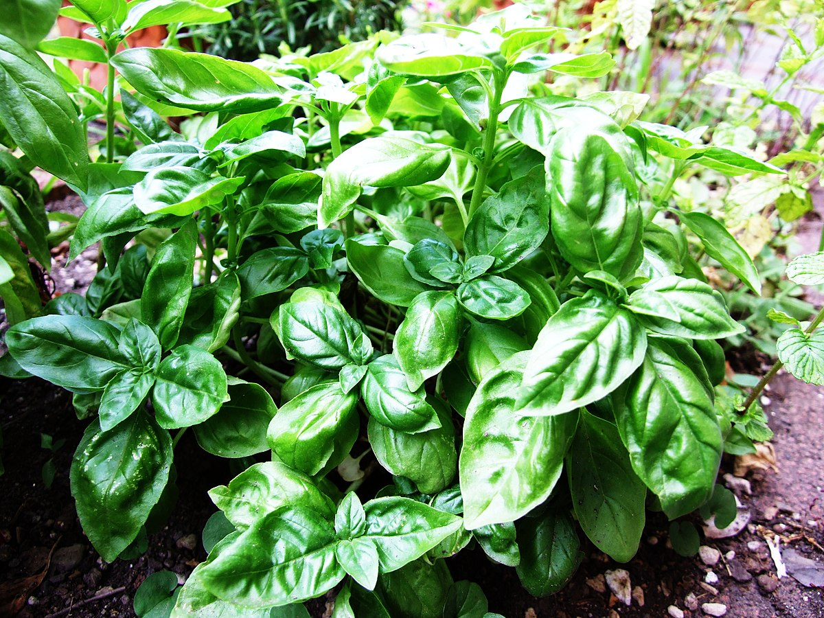 simple effective relief for skin allergies are basil leaves