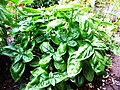 Basil-Basilico-Ocimum basilicum-albahaca.jpg