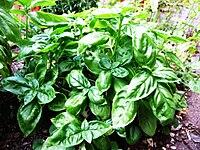 ������� 200px-Basil-Basilico-Ocimum_basilicum-albahaca.jpg
