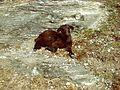 Basking Goat (6568667329).jpg