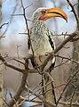 Beaky Hornbill (190911879).jpeg