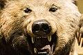 Bear - Natural History Museum London (46964498862).jpg