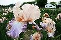Bearded Iris close-up in a field.jpg