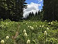 Beargrass along trail-Mt Hood (29365131474).jpg