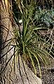Beaucarnea recurvata, Victoria Esplanade Park (5).jpg