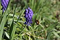 Bee-fly on Grape Hyacinth - panoramio (3).jpg