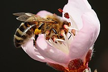 Bee pollinating peach flower.jpg