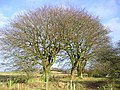 Beech Trees - geograph.org.uk - 117255.jpg