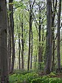 Beech trees - Leigh Woods - May 2012 - panoramio.jpg