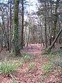 Beech woodland in Merton Plantation - geograph.org.uk - 1710390.jpg