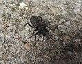 Beetle (21993533198).jpg