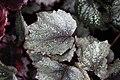 Begonia (11).jpg