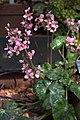 Begonia hydrocotylifolia GotBot 2015 003.jpg