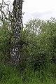 Beinwell in den Peenewiesen bei Trantow.jpg