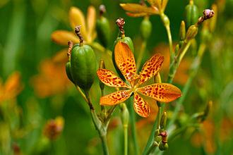 Iris domestica - Belamcanda chinensis growing in Pittsburgh, Pennsylvania
