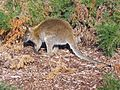 Bennet's Wallaby - Flickr - GregTheBusker.jpg