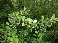 Berberis thunbergii Microphylla 2016-04-19 7558.jpg