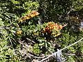 Berberis trigona (5236256246).jpg