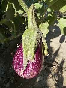 Solanum melongena wikipedia la enciclopedia libre - Variedades de berenjenas ...