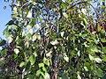 Betula nigra Summer Cascade 1zz.jpg