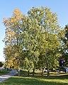 Birches - Oslo, Norway 2020-09-19.jpg