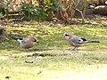 Bird (PL) - Sójka (41006577191).jpg