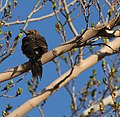 Bird in a Tree (8743617900).jpg