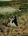 Bird lore (1916) (14755460855).jpg