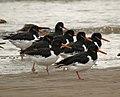 Birdlife on Coatham Sands - geograph.org.uk - 591996.jpg